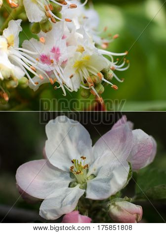 Blossoming spring motives in several close-up pictures with shallow depth: chestnut (Castanea) and Pear (Pyrus) flowers