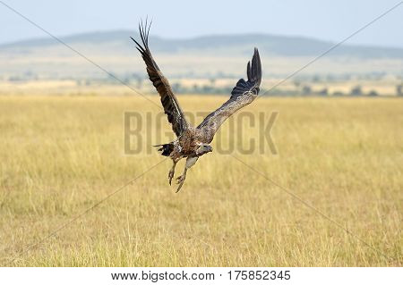 Vulture Flying. Masai Mara National Park