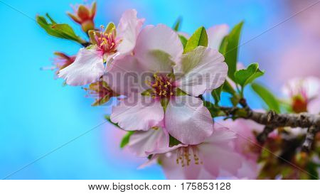 Blossoming peach tree branch close-up against the sky