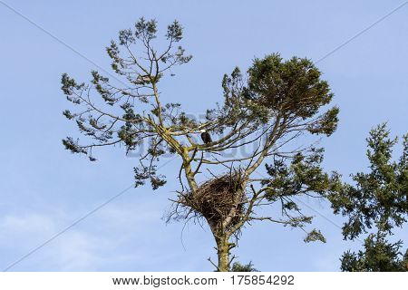 Bald Eagle and nest at Vancouver bc canada