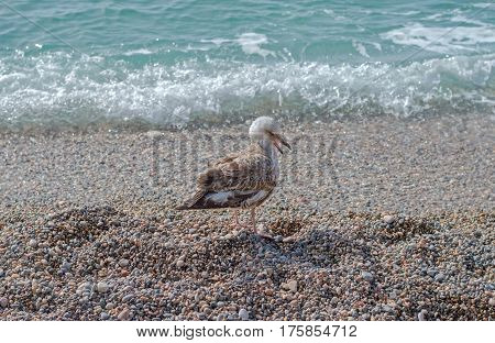 big Marine gull on rest near the sea