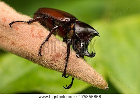 Rhino beetle on the plant in national park Kaeng Krachan in Thailand.