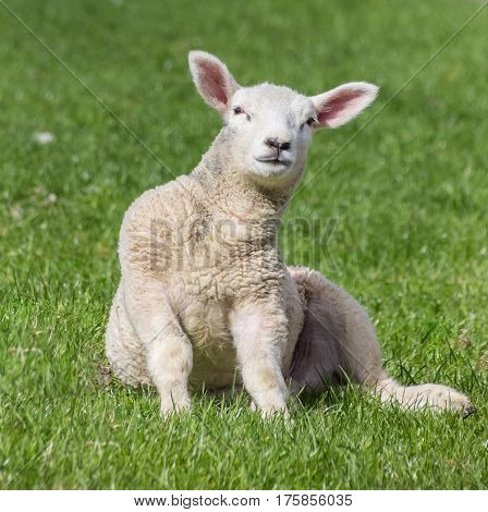 Young lamb sitting in the grass in spring