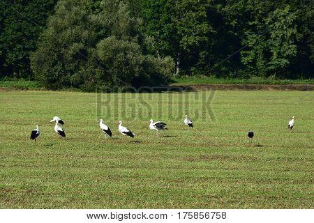 herd of storks looking in medow for food