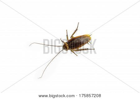 Cockroach isolated on white background. Cockroach body