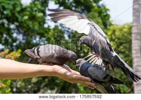 Pigeons Eating Feed On Hand With Blurred Motion