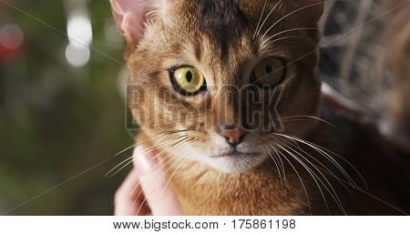 abyssinian cat sitting on knees and stroked by hand,