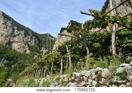 Wine vineyard from along the hiking trail known and the Path of Gods in Italy.
