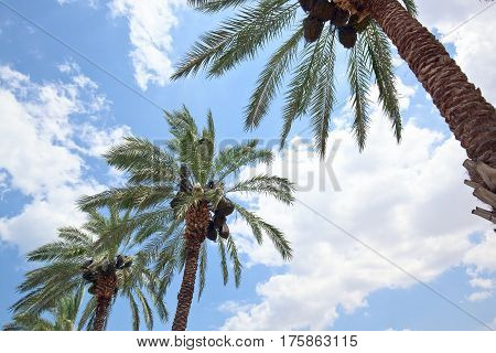 Orchard with palm date trees against a blue and cloudy sky
