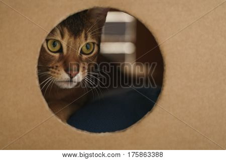 young abyssinian cat inside cardboard house from box, 8 month kitten
