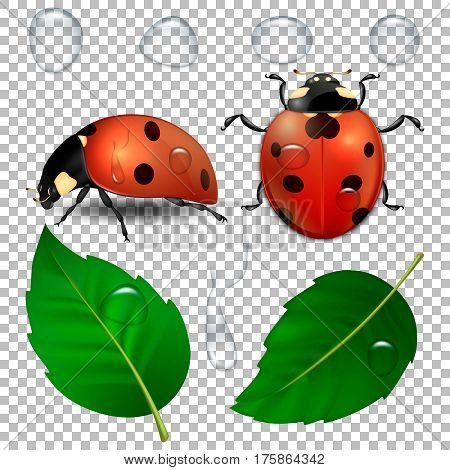 Vector close-up realistic ladybugs, water drops and leaves isolated. Design template, cliparts of spring symbol icons. EPS10 illustration.