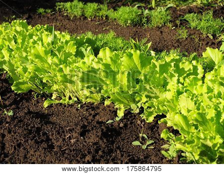 Lettuce salad growing. Green Salad. Lettuce growing.
