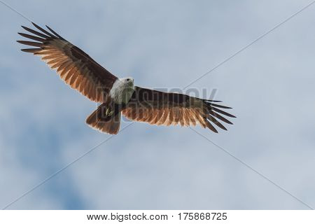 Brahminy kite flying and hunting for prey