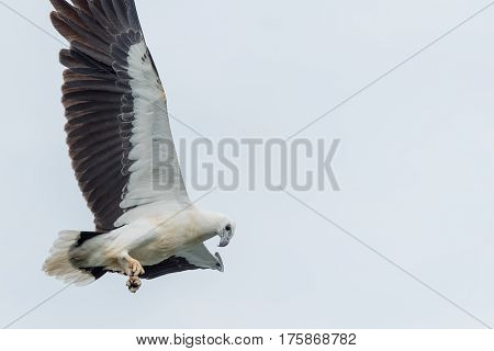 White-bellied sea-eagle hunting for fish above the river