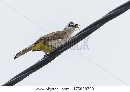 Yellow-vented bulbul sitting on an electric wire isolated on white