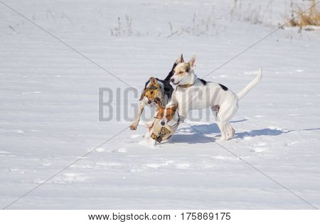 Two mixed breed dogs attacking basenji dog while play on a fresh snow