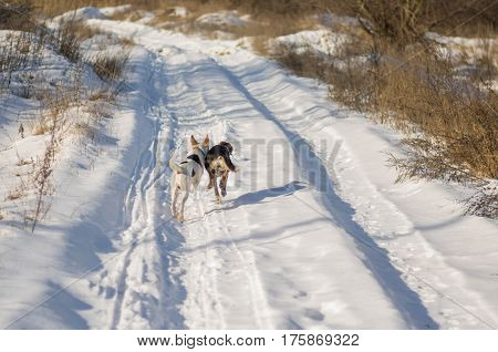 Two mixed breed dogs chasing each other on a country road covered with fresh snow at sunny winter day