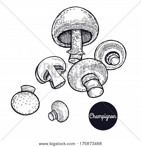 Hand drawing a gourmet mushroom Champignon. Style Vintage engraving. Vector illustration art. Graphics in black ink on a white background. Isolated objects of nature. Cooking food design.