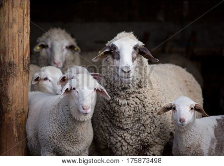Sheep Flock In Barn