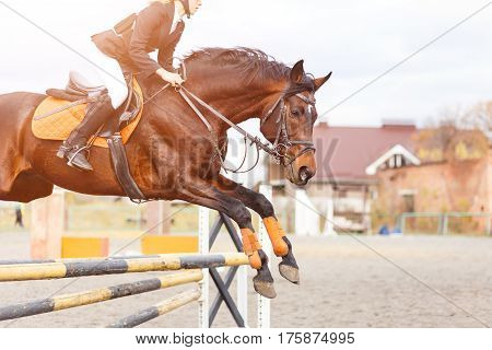 Bay horse with rider girl jump over the oxen on show jumping competition