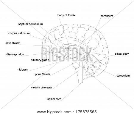 Outline human brain anatomy.Central Nervous System line diagram.
