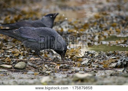 A pair of Jackdaws drinking from the water's edge