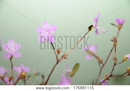 Flowering Labrador tea in a vase on the background of green wall
