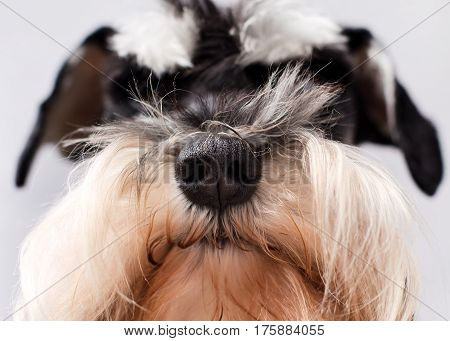 Close up of dog's black nose with fluffy hair of miniature schnauzer around it