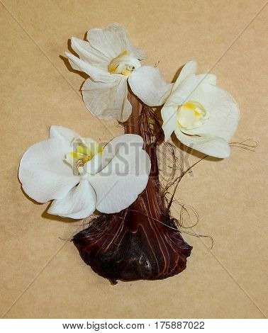Dried  Iris Onion Skin And White Orchid Flowers