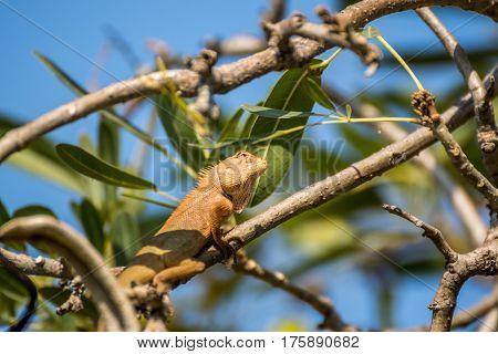 Lizard (oriental Garden Lizard) On A Tree