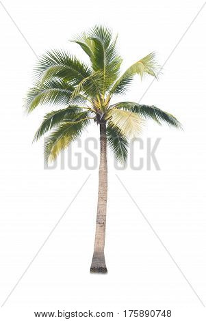 Coconut or palm tree , an asian trees isolate on white backgrond
