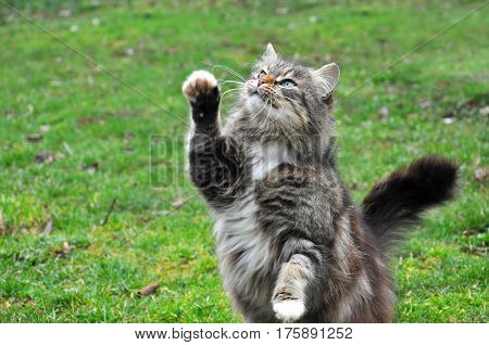 Hungry Norwegian Cat standing upright and trying to get the bird