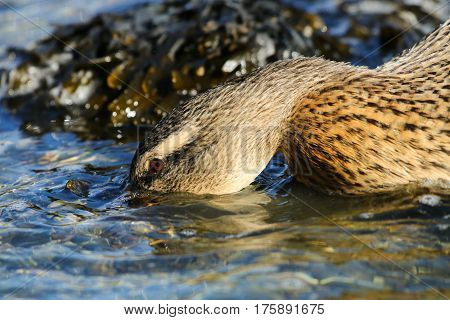 A female mallard duck feeding just beneath the surface of water