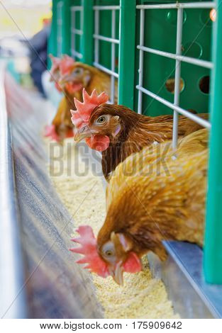 Red chickens feed in a cage on a farm