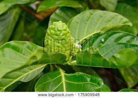 Green Noni Fruit Also Known As Morinda Citrifolia