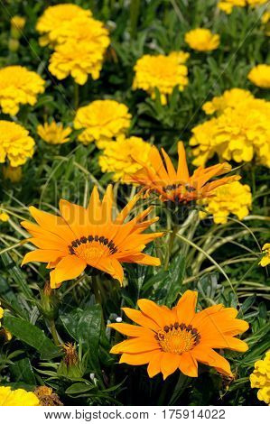 Gazania In The Flowerbed