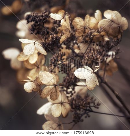 Stunning Dried Hydrangea Hortensia Flowers Cross Processed For Retro Look