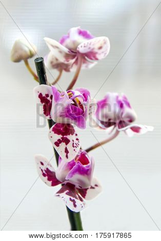 Pink Orchid Flower Close Up, Orchidaceae, Phalaenopsis