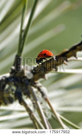 Ladybug Close Up On A Pine Branch Outdoor