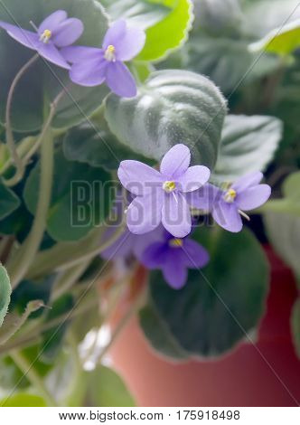Violet Parma Violets Saintpaulia Flowers, Close Up