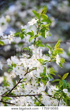 White Flower Of Prunus Cerasifera Tree, Close Up