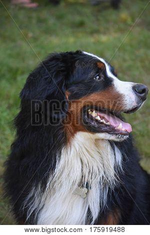 Great side shot of a Berner Sennehund.