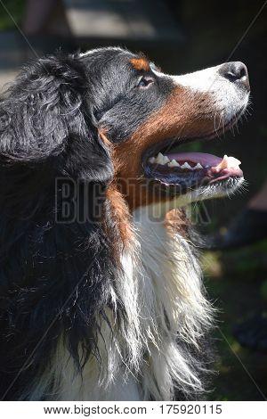 The sun shining down on a Bernese Mountain dog.