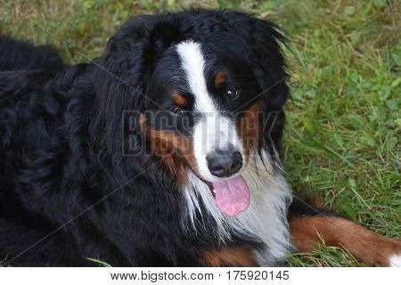 Adorable face of a Bernese Mountain dog looking up at the camera.