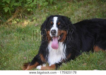 Berner sennehund looking very content resting in grass.