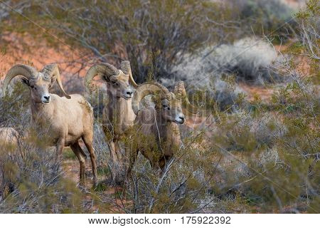 a small band of desert bighorn sheep rams in Nevada
