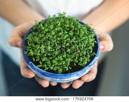 Children's hands hold a blue bowl with watercress. Fresh garden cress