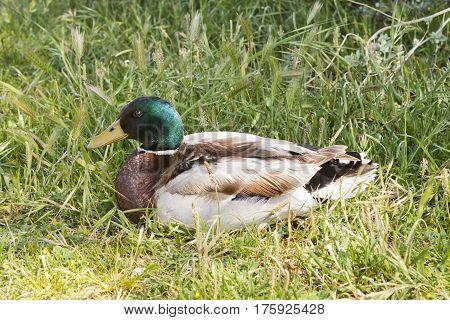 Mallard wild duck (Anas platyrhynchos) on the ground.