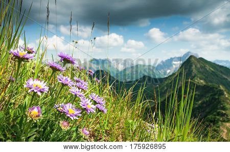 Great clear view from high mountain over other peaks in summer or spring. Some purple flowers, Alpine asters, and grass in the foreground. Alps, Bavaria, Tirol, Allgau.