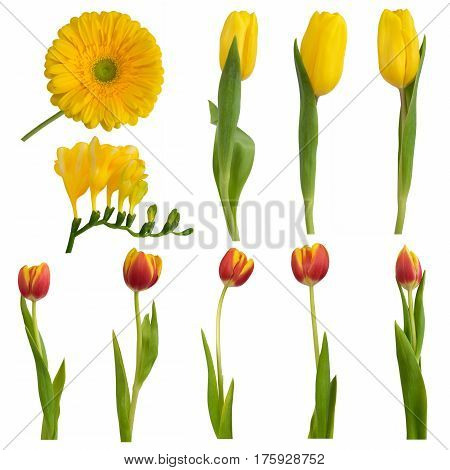 Set of colorful easter flowers: yellow and red tulips; gerbera and freesia isolated on white.